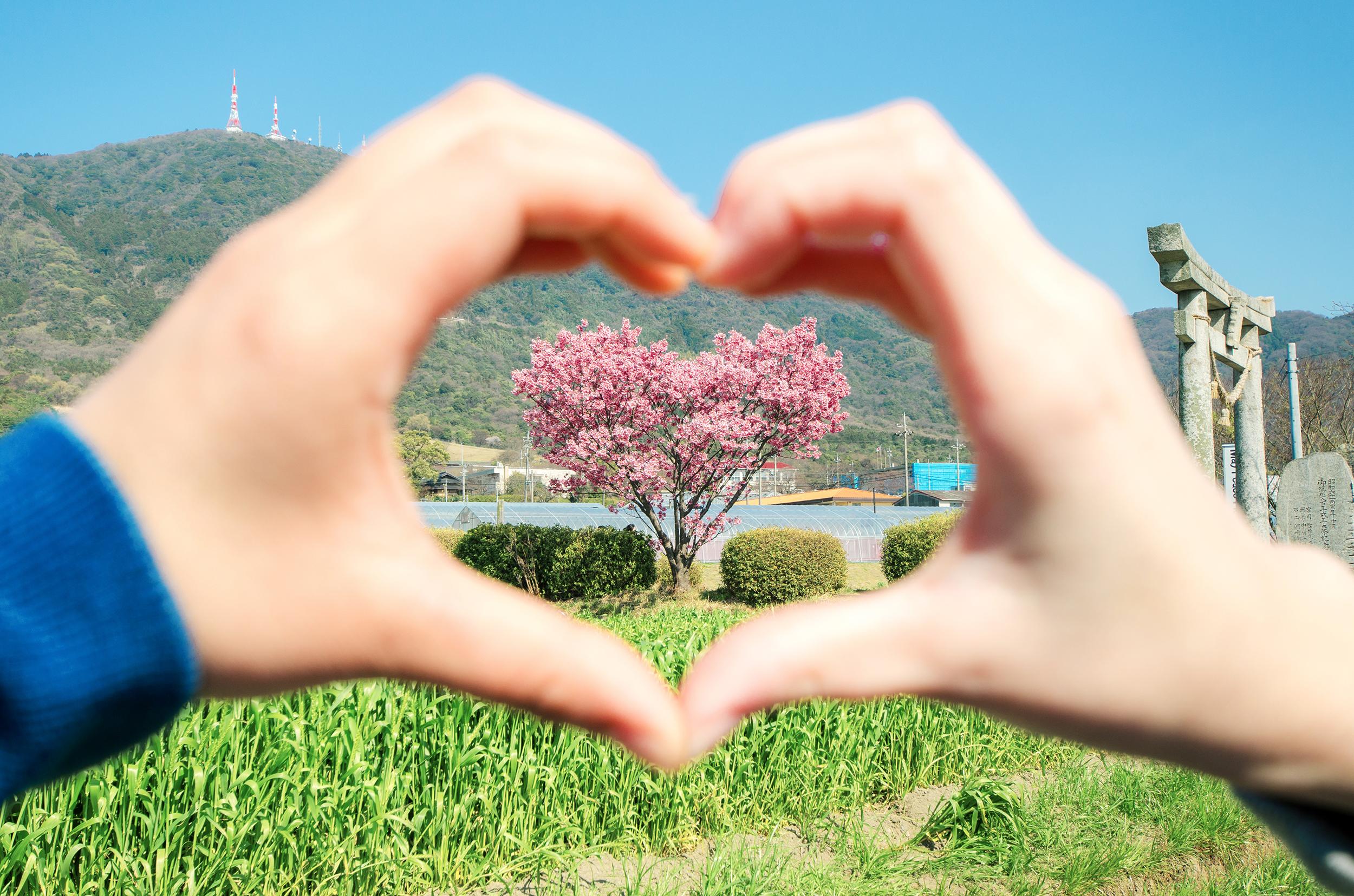 山口県にはハート型に咲く桜の木があります。
