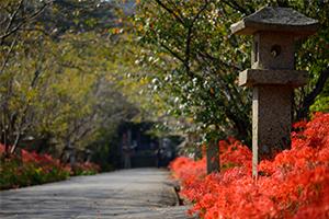 小鯖八幡宮で彼岸花が咲いてたよ。