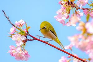 花の園(防府)に咲く河津桜!僕が撮るとこんな感じ。