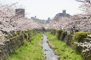 山口市の一の坂川に咲く桜!僕が撮るとこんな感じ。