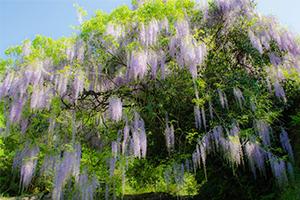 山口市仁保に咲く一貫野の藤を撮ってみたよ。