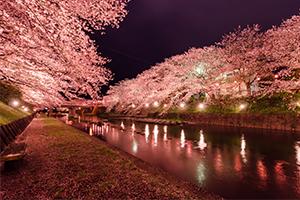 美祢さくら公園で夜桜撮ってきたよ!